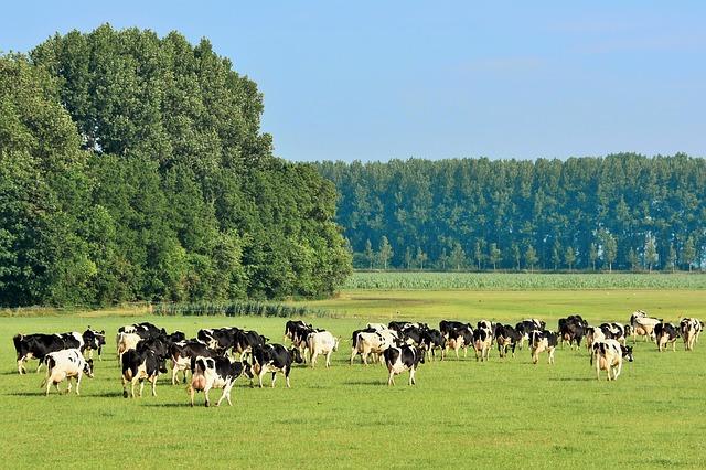 cows-2733283_640