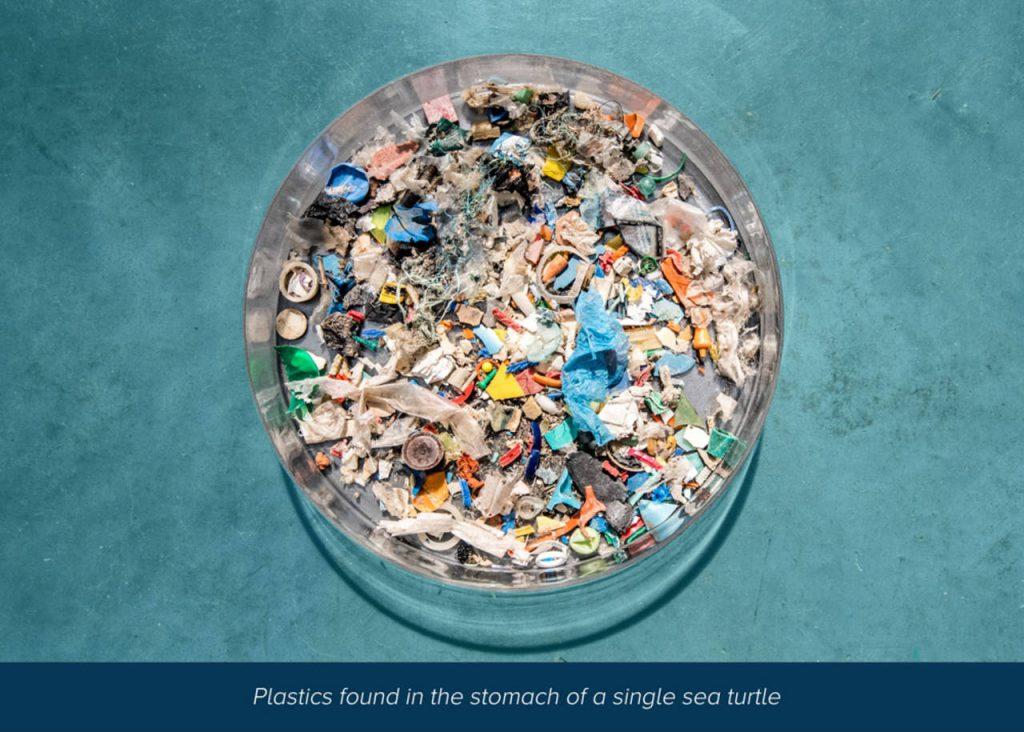 Mikroműanyagok egyetlen teknős gyomrából